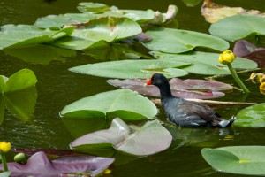 Lily Pads and Duck